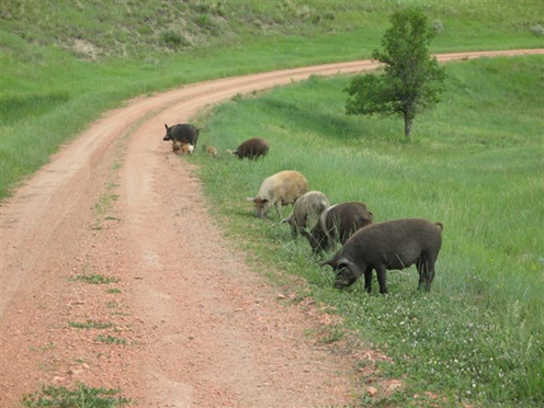 Feral Swine Grazing