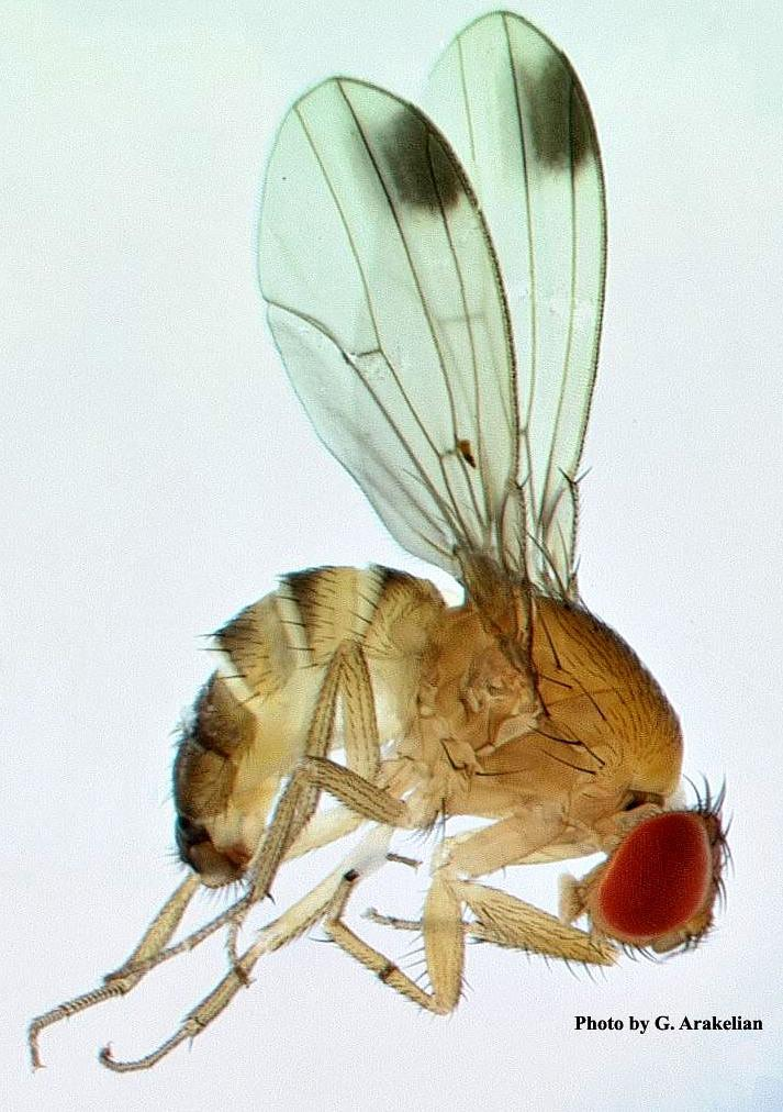 Spotted Winged Drosophila-1