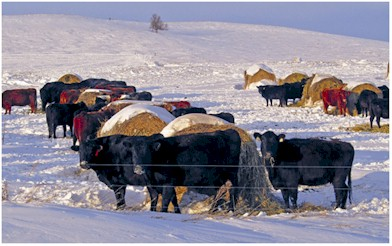Cattle Bale Grazing