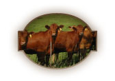 Red Cattle by Fence