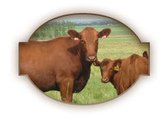 Red Cattle Cow Calf Pair