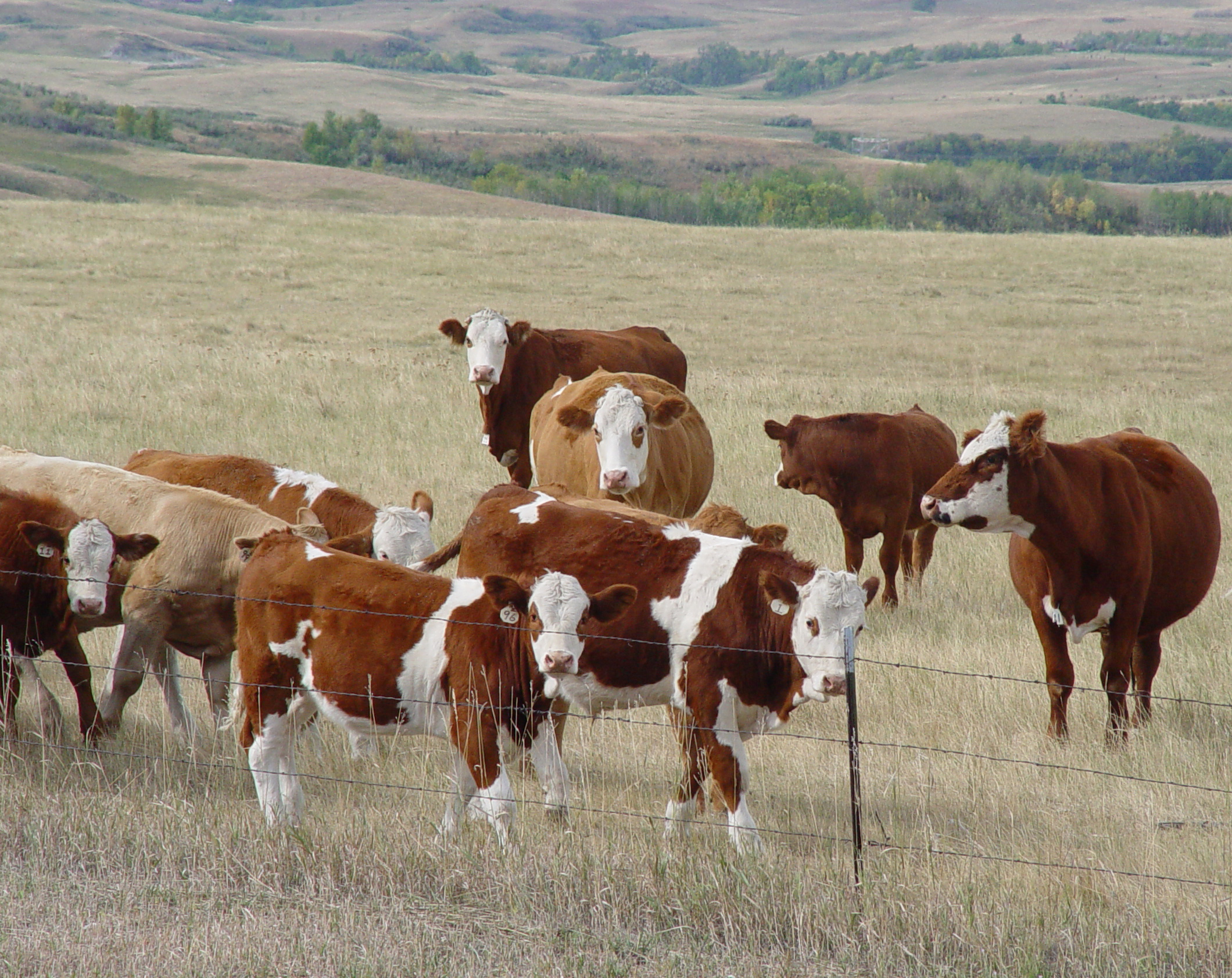 Beef cattle graze in dry pasture