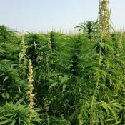 A field of industrial hemp