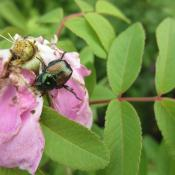 An adult Japanese beetle on a flower