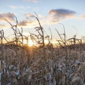 Snow in an unharvested corn field